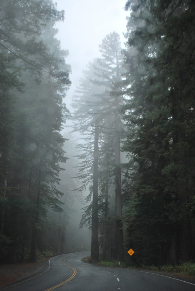 Redwoods in Northern California Image