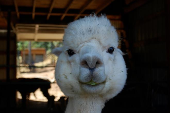 Alpaca Farm Image